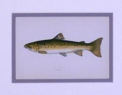 Edward Donovan Sea Trout Pike - 1577392