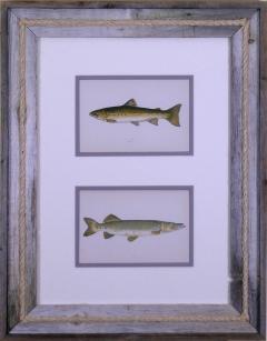 Edward Donovan Sea Trout Pike - 1577393