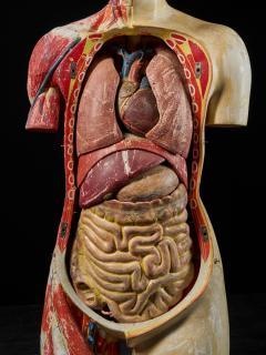 Female Life size Anatomical corche Torso Model Shimadzu Company - 2000313