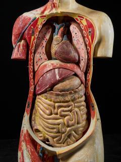Female Life size Anatomical corche Torso Model Shimadzu Company - 2000314