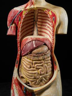 Female Life size Anatomical corche Torso Model Shimadzu Company - 2000316
