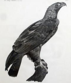 French Engraving by Savigny of the Eastern Imperial Eagle from the de lEgypte - 1972561