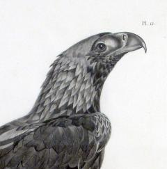 French Engraving by Savigny of the Eastern Imperial Eagle from the de lEgypte - 1972566