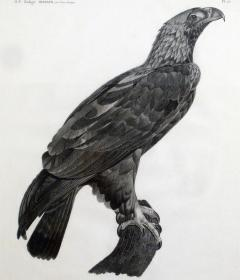 French Engraving by Savigny of the Eastern Imperial Eagle from the de lEgypte - 1972567