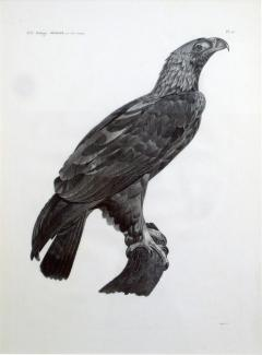 French Engraving by Savigny of the Eastern Imperial Eagle from the de lEgypte - 1973349