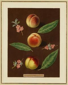 George Brookshaw Engravings of Peaches Plate XXXVI Pomona Britannica - 1618666