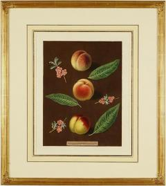 George Brookshaw Engravings of Peaches Plate XXXVI Pomona Britannica - 1618667