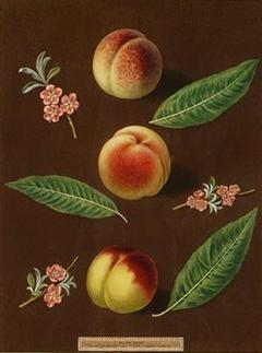 George Brookshaw Engravings of Peaches Plate XXXVI Pomona Britannica - 1618939