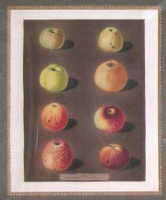George Brookshaw George Brookshaw Plate 91 Apples 1812 - 1548274