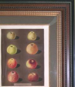 George Brookshaw George Brookshaw Plate 91 Apples 1812 - 1548275