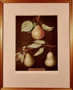 George Brookshaw George Brookshaw Print of Pears from Pomoma Britannica Plate LXXXVI  - 1635596