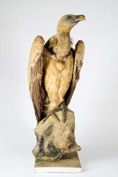 Griffon Vulture Gyps fulvus II A on Antique White Museum Stand - 2000365