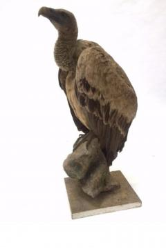 Griffon Vulture Gyps fulvus II A on Antique White Museum Stand - 2000367