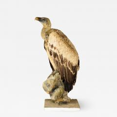 Griffon Vulture Gyps fulvus II A on Antique White Museum Stand - 2002624