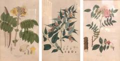 Group of Three Foliage Engravings by Nathaniel Wallich - 1257015