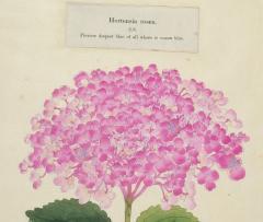 Hortensia rosea Japanese Hydrangea - 2080840