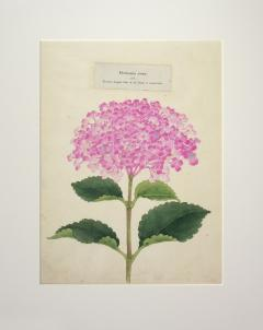 Hortensia rosea Japanese Hydrangea - 2080841