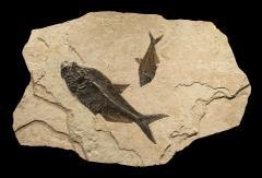 Irregular Shaped Fossil Mural - 1837258