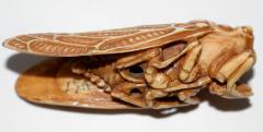 Japanese Netsuke of Cicada Signed - 315709