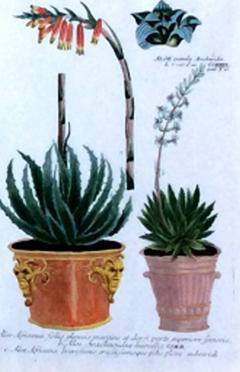 Johann Wilhelm Weinmann Johann Weinmann Pair of Botanical Engravings with Plants in Pots - 1619362
