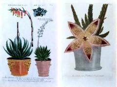 Johann Wilhelm Weinmann Johann Weinmann Pair of Botanical Engravings with Plants in Pots - 1619499