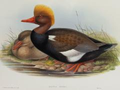 John Gould Branta Rufina Red crested Duck  - 1975479