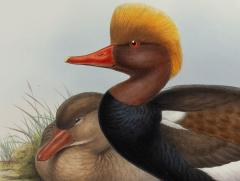 John Gould Branta Rufina Red crested Duck  - 1975480