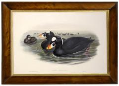 John Gould Group of Four Lithograph Plates of Ducks  - 762251