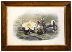 John Gould Group of Four Lithograph Plates of Ducks  - 762252