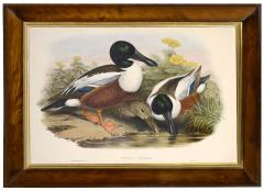 John Gould Group of Four Lithograph Plates of Ducks  - 762253