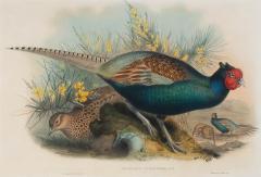 John Gould Phasianus Versicolor Vieill - 1937413