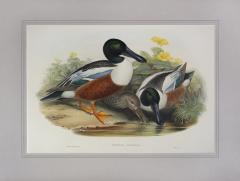 John Gould Spatula Clypeata Shoveller Duck  - 1975678