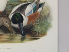 John Gould Spatula Clypeata Shoveller Duck  - 1975679
