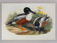 John Gould Spatula Clypeata Shoveller Duck  - 1975680