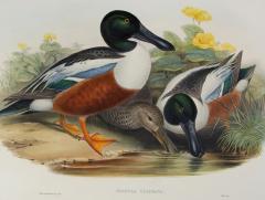 John Gould Spatula Clypeata Shoveller Duck  - 1975681