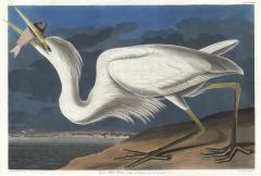 John James Audubon Great White Heron Ardea Occidentalis Plate 281