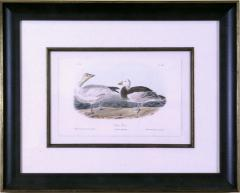 John James Audubon John James Audubon Bernacle Goose 1856 - 1555271