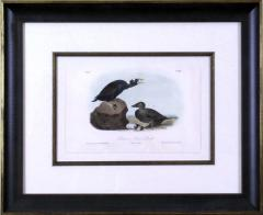 John James Audubon John James Audubon Bernacle Goose 1856 - 1555304