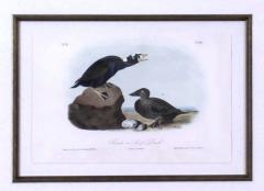 John James Audubon John James Audubon Black or Surf Duck 1856 - 1555298