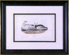 John James Audubon John James Audubon Black or Surf Duck 1856 - 1555300