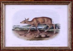 John James Audubon John James Audubon Black tailed Deer 1849 - 1530826