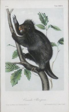 John James Audubon John James Audubon Canada Porcupine 1856 - 1530915
