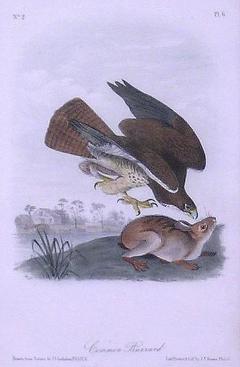 John James Audubon John James Audubon Common Buzzard 1839 - 1530894