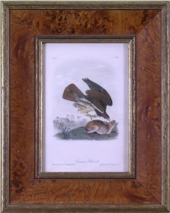 John James Audubon John James Audubon Common Buzzard 1839 - 1557031