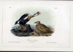 John James Audubon John James Audubon King Duck 1856 - 1555266