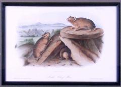 John James Audubon John James Audubon Little Chief Hare Rock Rabbit 1854 - 1530817