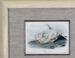 John James Audubon John James Audubon Northern Hare 1849 - 1556611