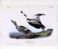 John James Audubon John James Audubon Pied Duck 1856 - 1554054