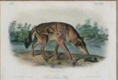 John James Audubon John James Audubon Red Texas Wolf Audubon Animal 1854 - 1530918