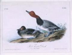 John James Audubon John James Audubon Red headed Duck 1856 - 1555294